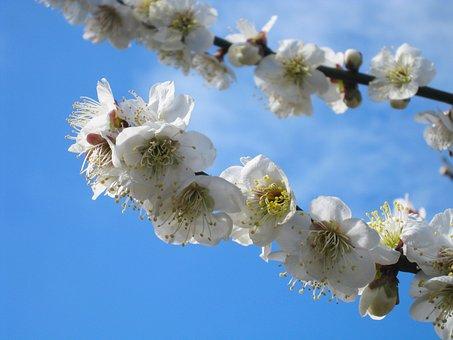 Plum, Soga Plum, Odawara, Blue Sky, Blue, White