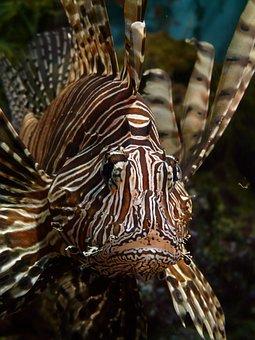 Lionfish, Fish, Pacific Rotfeuerfisch, Pterois Volitans