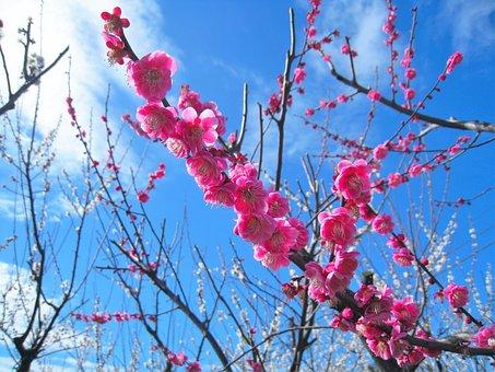Peach, Pink, Peach Blossom, Soga Plum, Odawara
