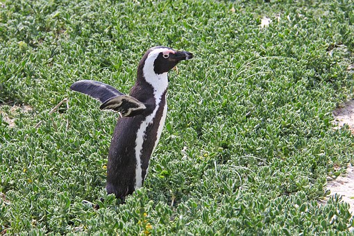 Penguin, Cute, Cuddly, Beautiful, Beach, Boulders Beach
