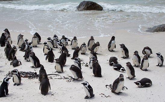 Penguin, Banded Penguin, Spheniscus Demersus