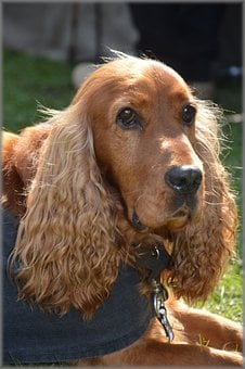 Cocker Spaniel, Dog, Pet, Purebred, Canine, Friend