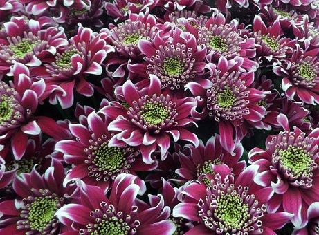 Chrysanthemum Blooms Saba, Flowers, Pink, Purple, White
