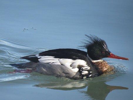 Red Breasted Merganser, Duck, Bird, Nature, Wildlife
