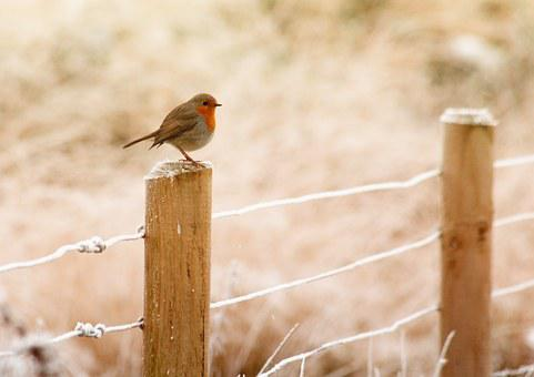Winter, Robin, Bird, Christmas, Red, Wildlife, Snow