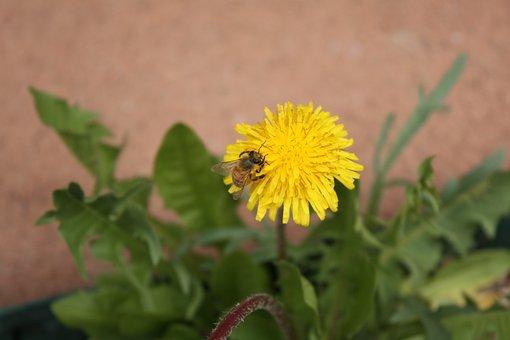 Bee, Flower, Dandelion, Pollination, Blooming, Single
