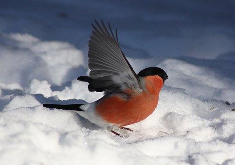 Pyrrhula Kittila, Bird, Winter, Snow, Nature, Outside