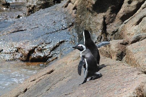 Penguins, South Africa, Boulders Beach, Cape Point