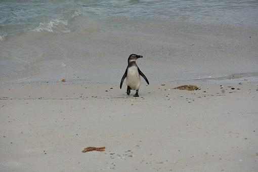 South Africa, Penguin, Beach, Water, Sand, Cape Point