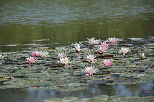 Waterlily, Lotus, Pond, Surface, Flower, Flowers