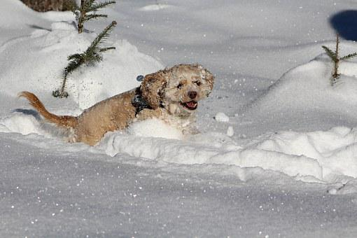 Dog In The Snow, Cocker Spaniel, Winter, White, Sweet