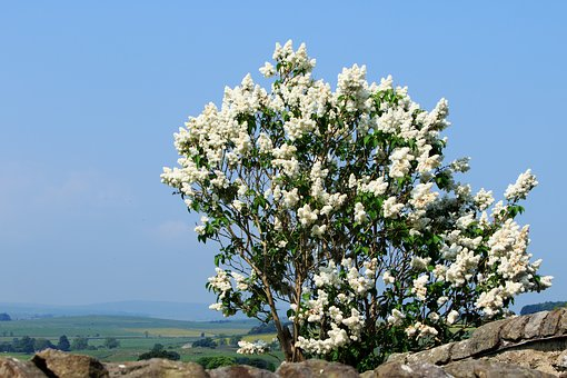 Tree, Lilac, Lilac Tree, Flowers, White, Blossom