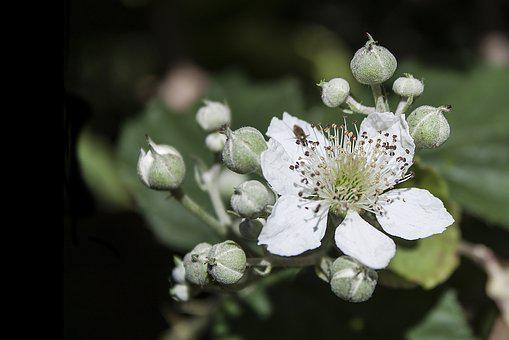 Bramble, Flower, White, Blackberry, Bloom, Flora