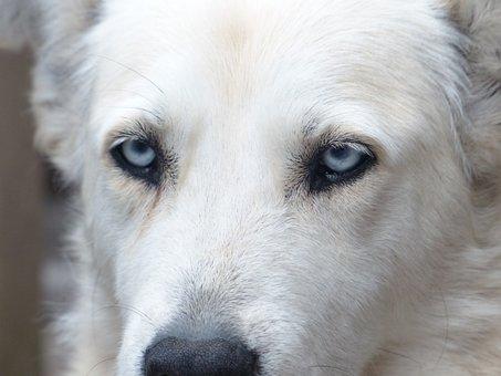 Dog, White, Face, Eyes, Portrait, Fur, Husky Mongrel