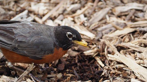 Robin, Eating, Bird, Worm, Beak, Breast, Wing