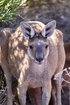 Kangaroo, Australia, Animal, Nature, Wildlife