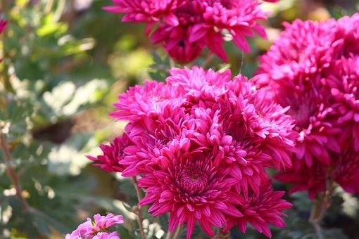 Chrysanthemums, Flower, Mums, Macro, Floriade, Close-up