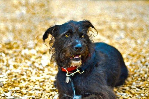 Dog, Wolfhound, Animal, Canine, Pet, Breed, Black