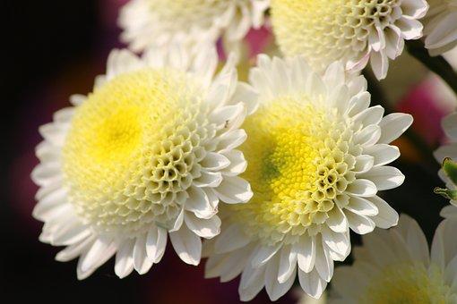 Flower, Chrysanthemums, Mums, Macro, Floriade, Close-up