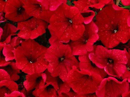 Red, Petunias, Rain, Flower, Nature, Beauty