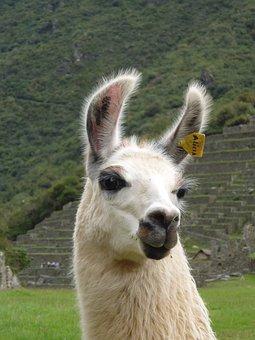 Llama, Peru, Sacred Valley, Machu Picchu, Portrait