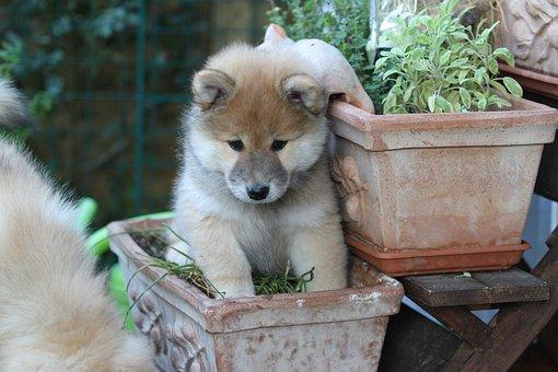 Eurasians, Puppy, Dog, Animal, Pet, Young