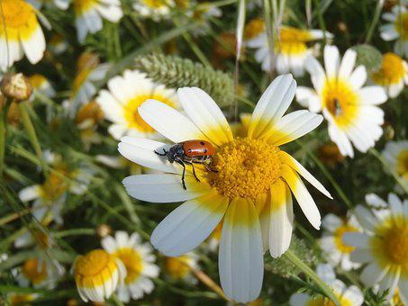 Daisy, Ladybug, Flowers, Insect, Nature, Yellow Flowers