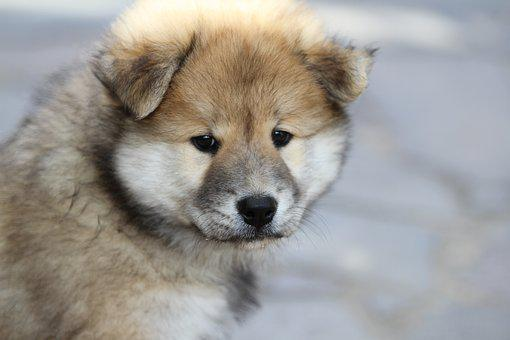 Eurasier Puppy, Dog, Animal Photo, Pet, Young, Puppy