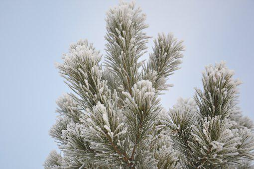 Pine, Winter, Snow, Winter Forest, Tree, Nature, Cold