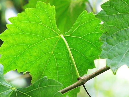 Leaves, Vine, Muscadine, Green, Fruit, Nature