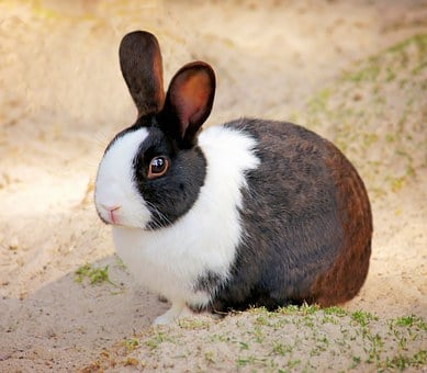 Rabbit, Pet, Small Animal, Animal, Cute, Rodent, Nager