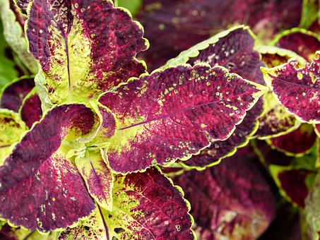 Coleus, Plant, Ornamental, Leaves, Colorful, Nature