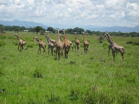 Giraffes, Africa, Mikumi, National Park, Wilderness