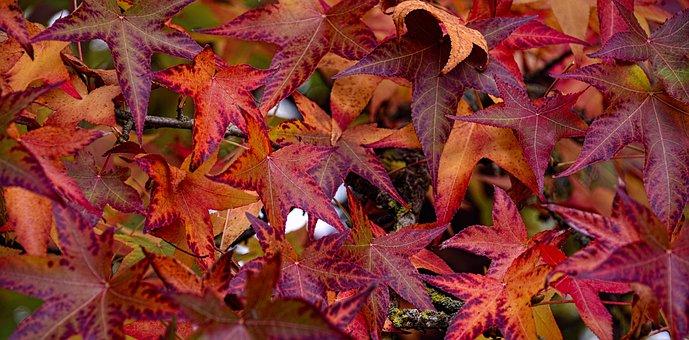 Fall, Leaves, Sweetgum, Autumn Leaves, Nature, Tree