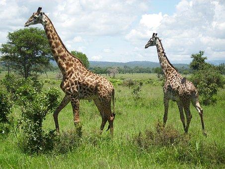 Giraffes, Africa, Mikumi, Giraffe, National Park