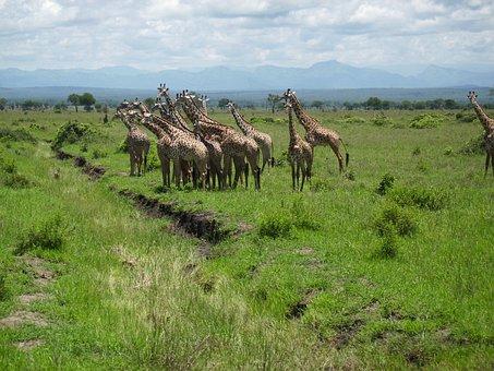 Giraffes, Africa, Tansnia, Mikumi, Giraffe, Wilderness