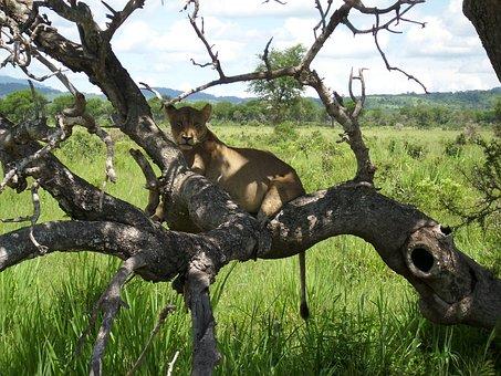 Africa, Tansnia, Mikumi, Lion, Wilderness