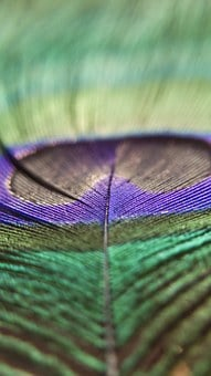 Peacock Feathers, Bird, Shiny, Colorful, Peacock