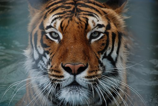 Tiger, Cat, Animal, Animal World, Dangerous, Claw, Zoo