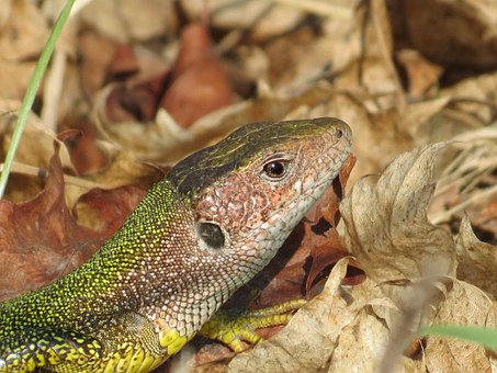 Lizard, Green, Reptile, Nature, Vacation, Journey