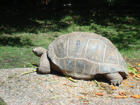 Turtle, Animal, Carapace, Animals, Giant Tortoise, Zoo