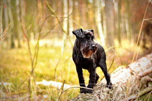 Miniature Schnauzer, Dog, Pet Photography, Forest