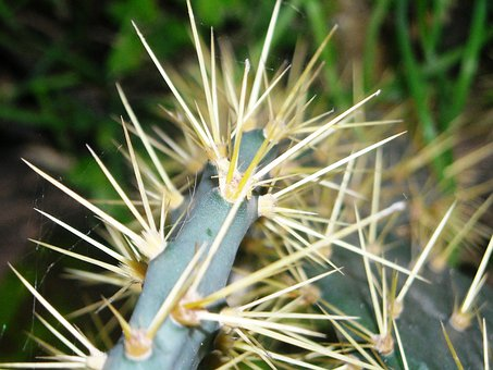 Cactus, Centong, Thorn, Plants