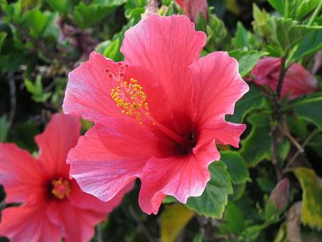 Ibiscus, Flower, Macro, Pink