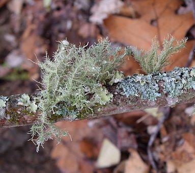 Lichens On Branch, Lichen, Symbiotic, Cyanobacteria