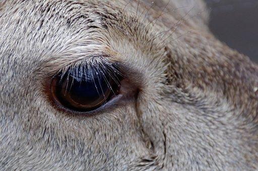 Eye Deer, Sarna, Forest, Nature, Animal, Mammal, Brown