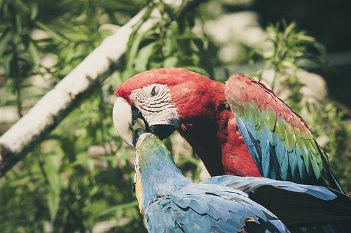 Ara Erythrocephala, Ara, Parrot, Bird, Colorful
