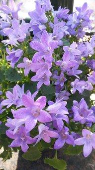 Flower, Plant, Nature, Blossom, Bloom, Spring, Purple