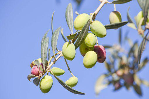Olive, Tree, Nature, Oil, Food, Organic, Agriculture