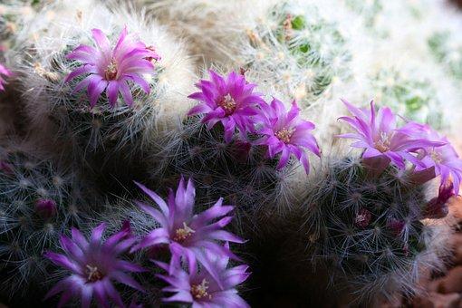 Cactus, Flowering Cactus, Purple, Blossom, Bloom